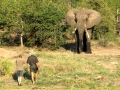 Elela Africa Walking safari Elefant