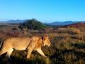 Elela Africa junger Löwe im Fynbos_Fotor