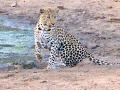 Leopard AfriCat Elela Africa