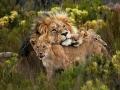 Elela Africa Löwen im Eco Camp