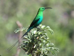 Elela Africa Sunbird Dad