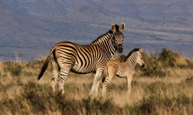 Cape Mountain Zebra SAT