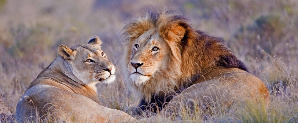 Elela-Africa-Lion-couple-web_Fotor