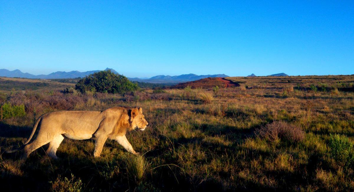 Elela-Africa-junger-Löwe-im-Fynbos