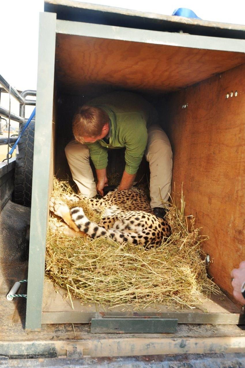 Cheetah release transport