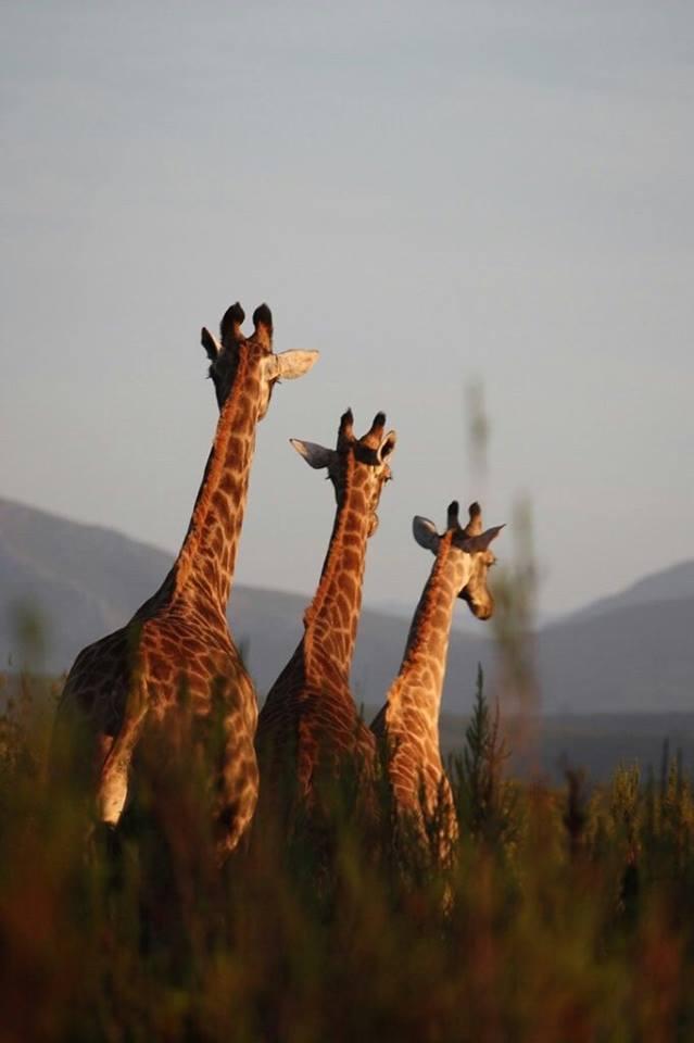 Elela Africa Giraffen Zuwachs3