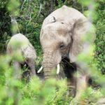 mashatu-elephants