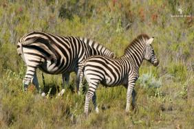 baby-zebra-gondwana-tented-eco-camp-garden-route