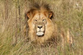 beautiful-lion-at-gondwana-big-five-game-reserve-garden-route