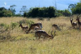 game-count-impalas-gondwana-game-reserve-mosselbay