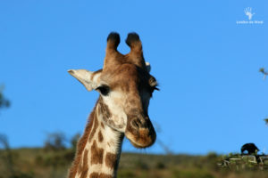 giraffe-at-gondwana-game-reserve
