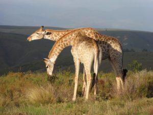 giraffen-fressen
