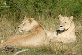 gondwana-lionesses