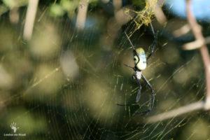 orb-spider-gondwana-game-reserve