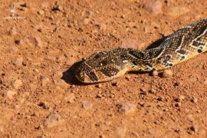 puff-adder-gondwana-game-reserve-mosselbay