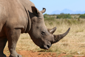 rhinos-with-24-7-anti-poaching-control-gondwana-game-reserve