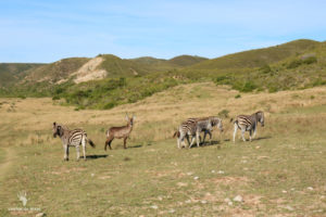 zebra-game-count-gondwana-game-reserve-garden-route