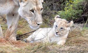 lioness-mit-baby-hans-juergen-web