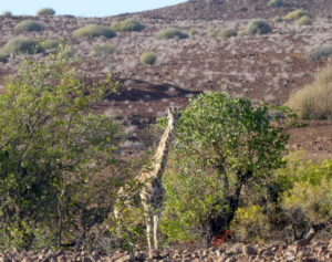 palmwag-giraffe