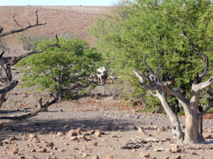 palmwag-rhino-fern