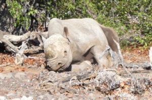 palmwag-rhino-liegend