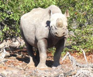 palmwag-rhino-nah