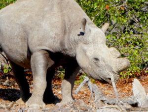 pamwag-rhino-nah-seite