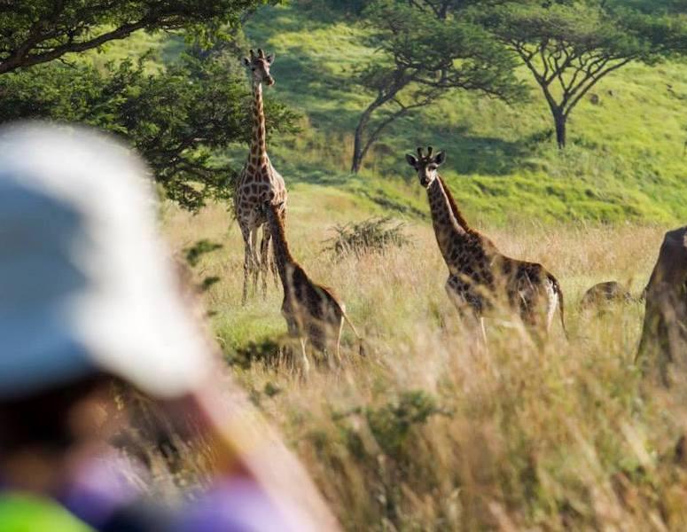 Dieses Bild hat ein leeres Alt-Attribut. Der Dateiname ist walking-with-giraffes-elela-africa-copy.jpg