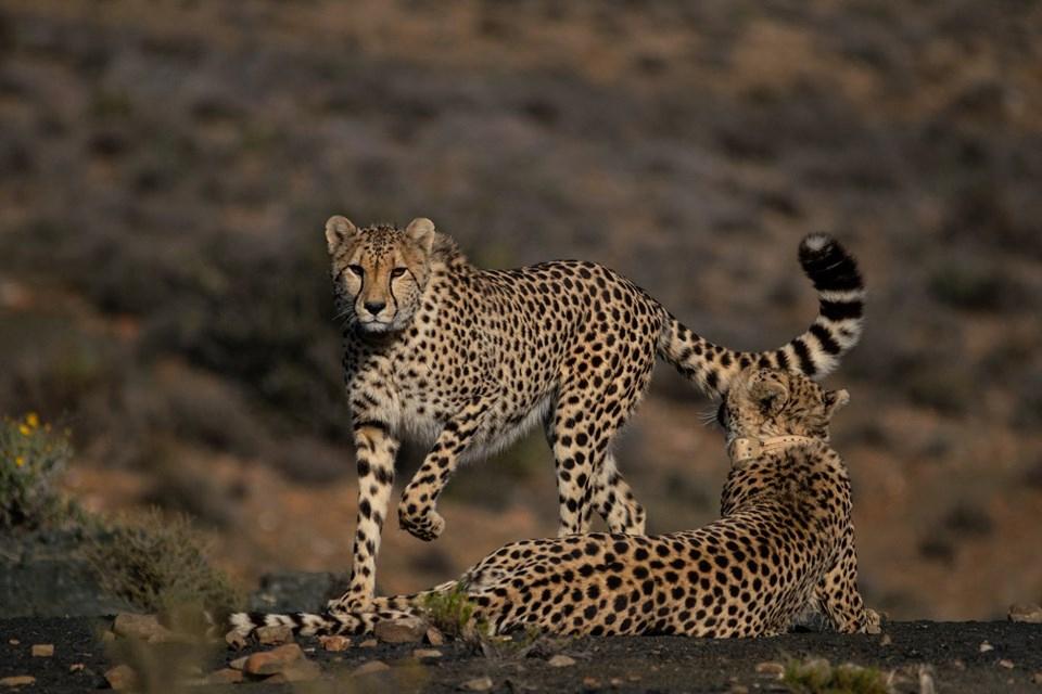 03 Ranger Safari Karoo Leopard 2