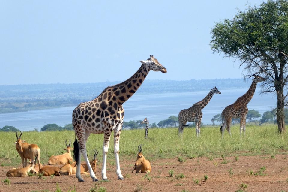 06 Giraffen Uganda Elela Africa