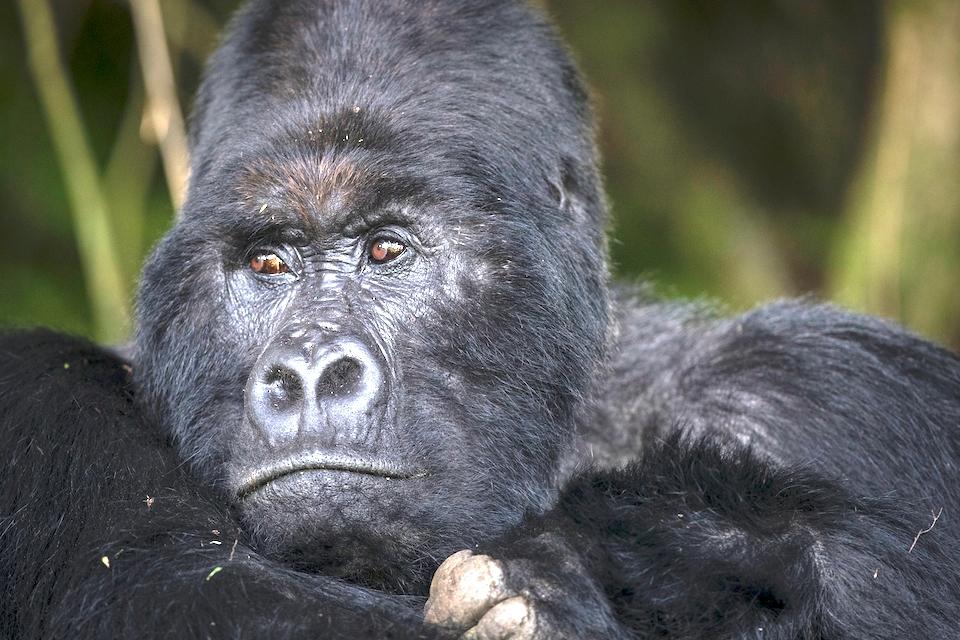 07 Gorilla Silberrücken Elela Africa