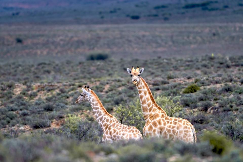 08 Giraffen Karoo Elela Africa
