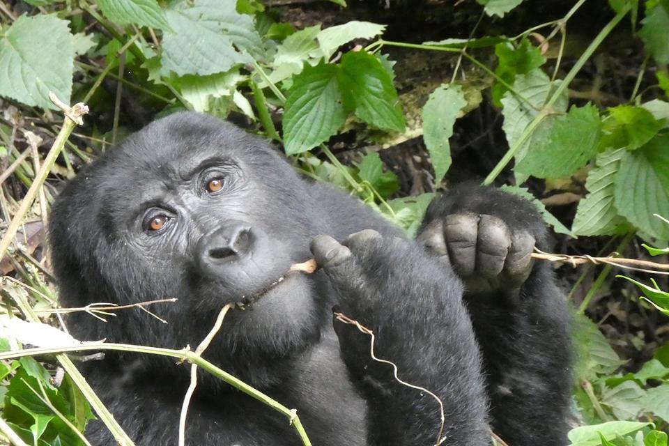 09 Gorilla Tracking Elela Africa banner