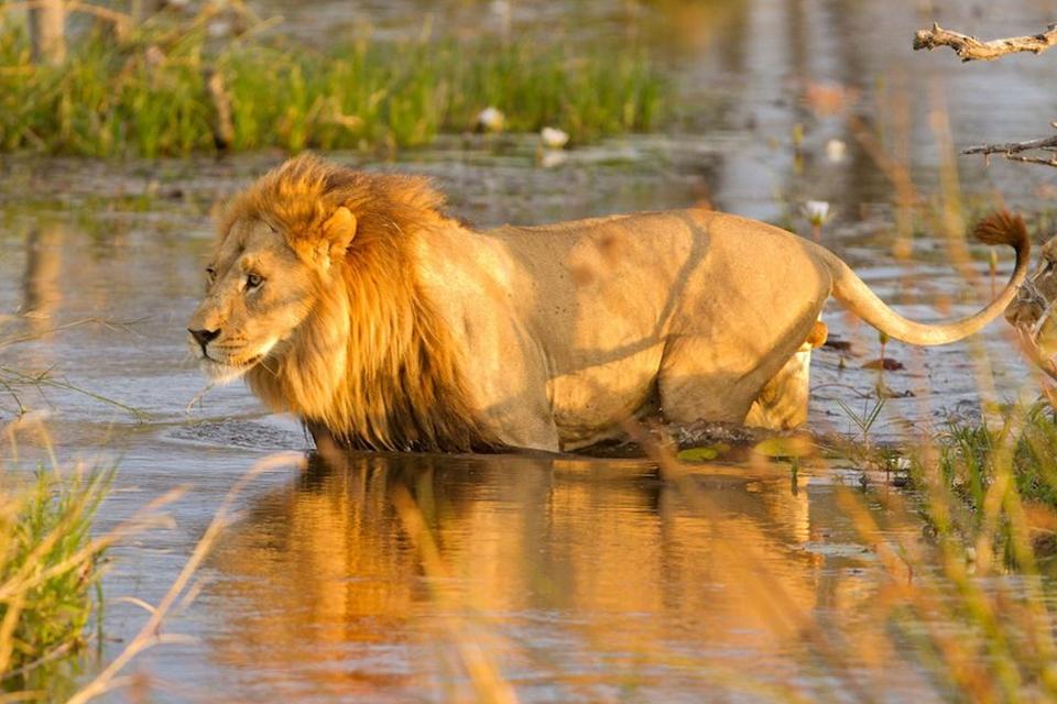 10 Löwe Okavango Delta Elela Africa
