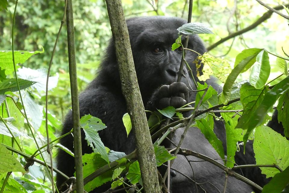 12 Gorilla Tracking Titel