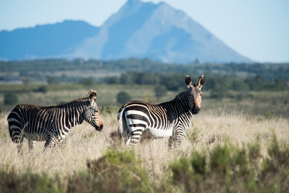 13 Zebras Elela Africa mountain