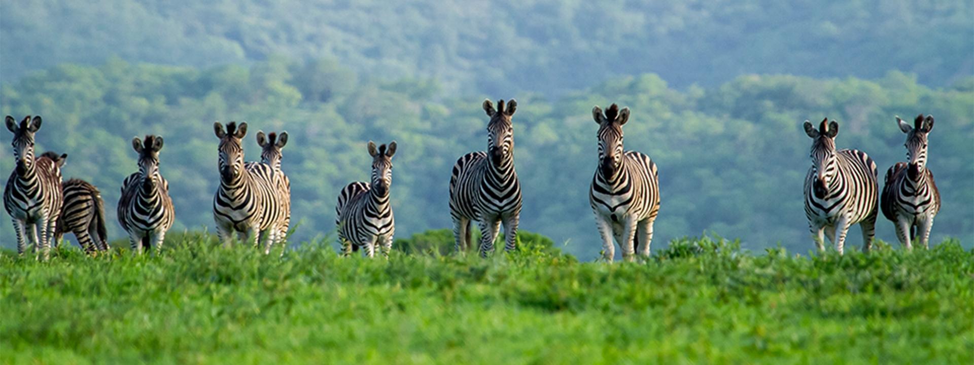 Faszinierendes Zululand Banner