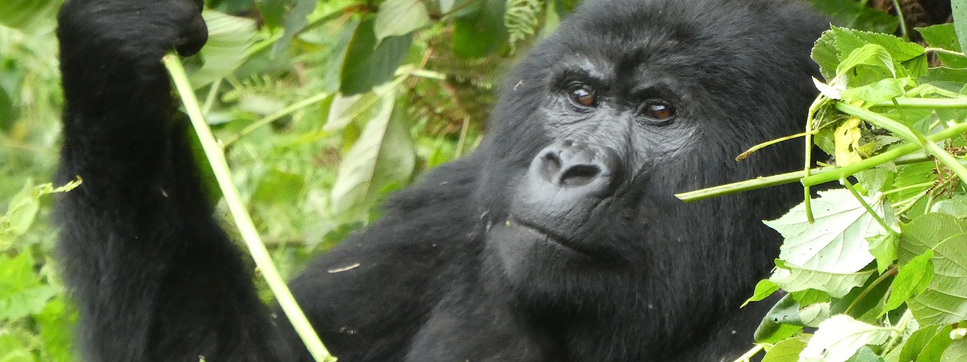 Gorilla Tracking Elela Africa Banner