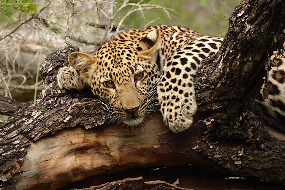 05 Leopard Cub Elela Africa