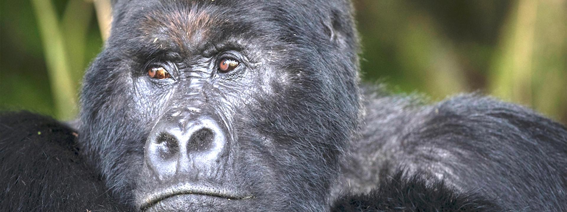 Gorilla Silberrücken Titel