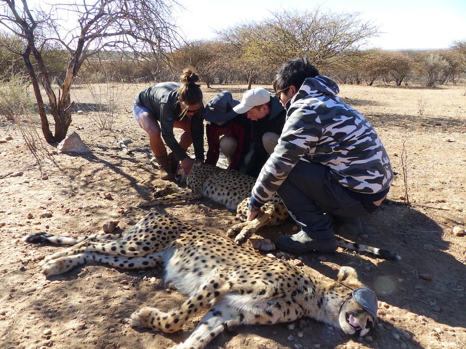 Ranger Safari Cheetahs Elela Africa
