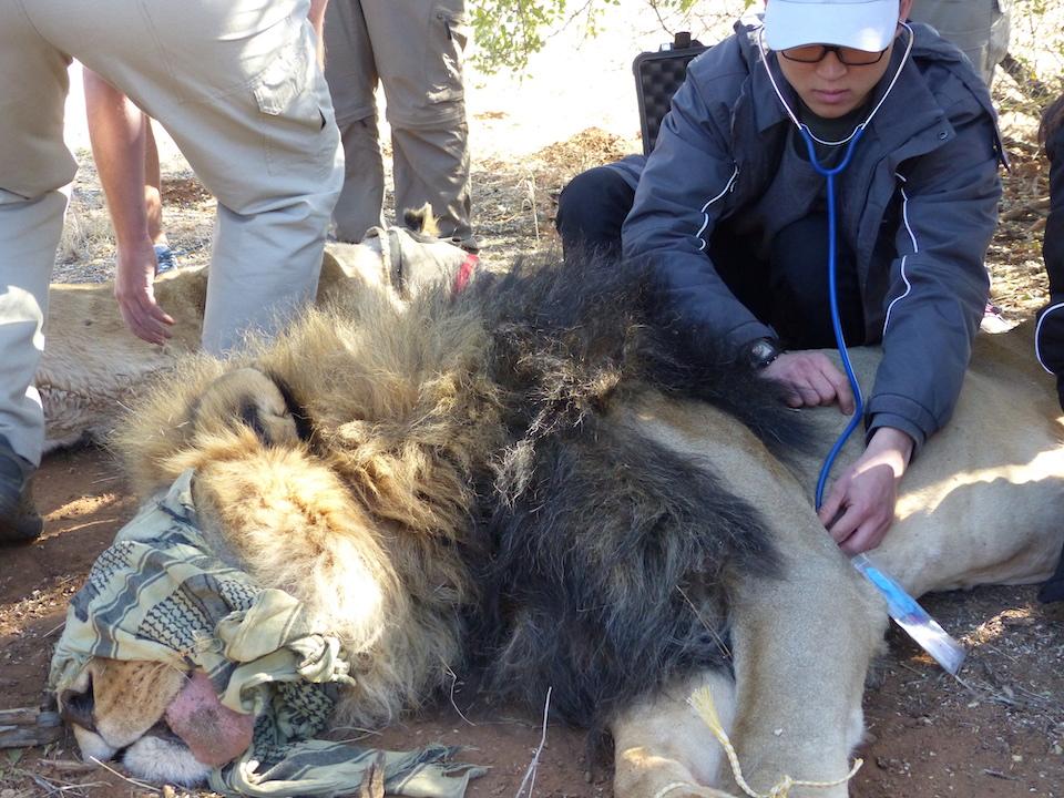 Ranger Safari Lion Elela Africa