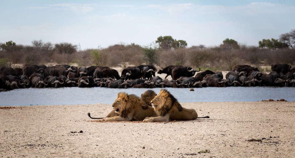 Löwen am Wasserloch. Eine Büffelherde im Hintergrund.