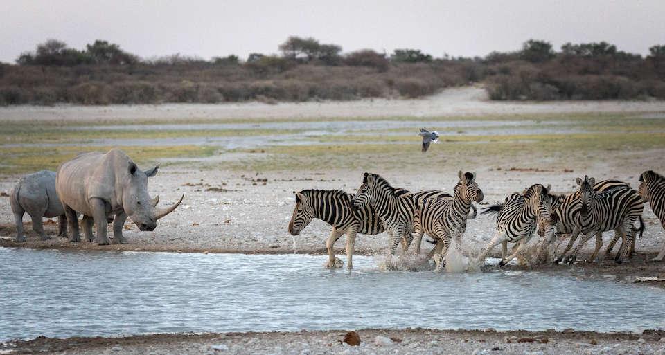 Zebra und Nashörner Treffen sich an der Salzpfanne