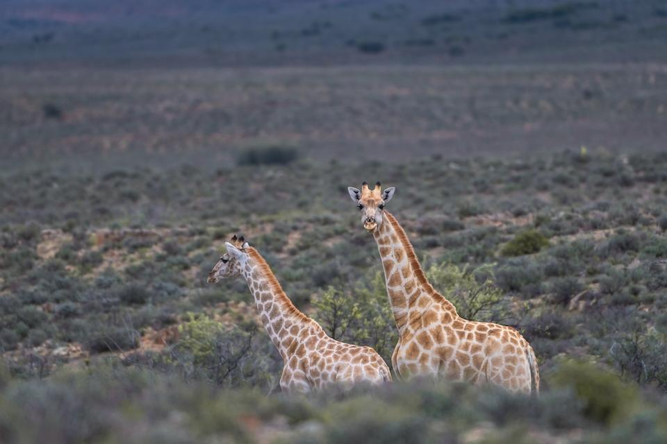 zwei Giraffen in der Karoo