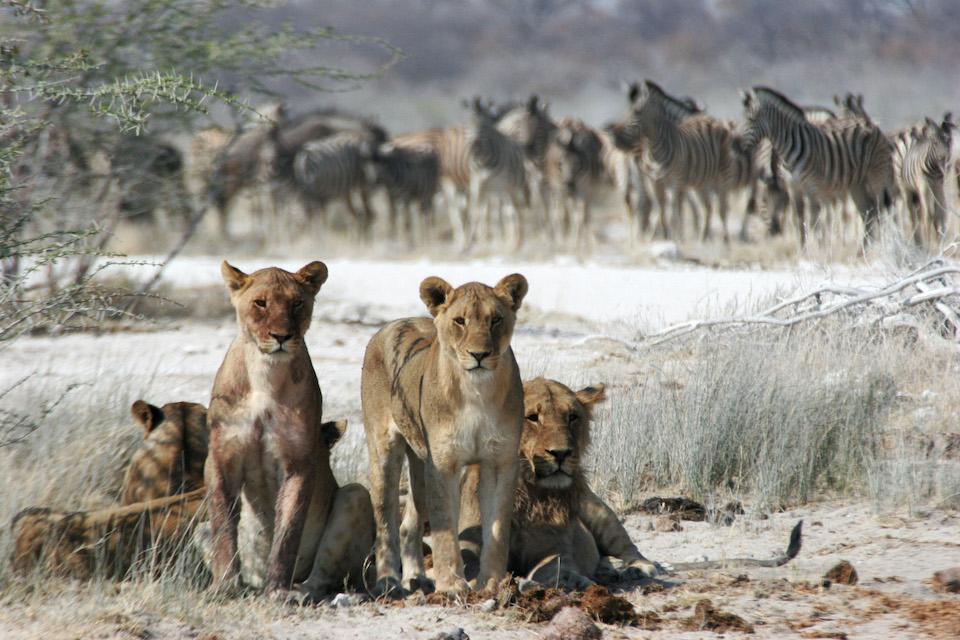 blooming-desert-elela-africa-mobile-safari-löwenninen