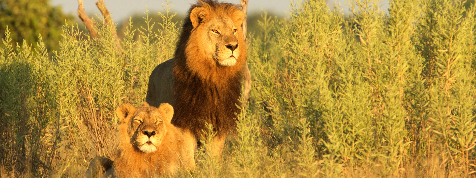 blooming-desert-titel-2-elela-africa-mobile-safari-kalahari-loewe