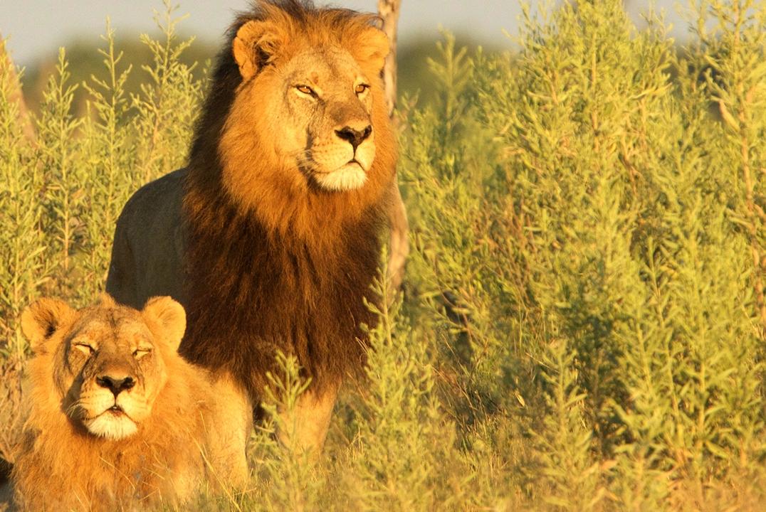 blooming-desert-titel-klein-elela-africa-mobile-safari-kalahari-löwe