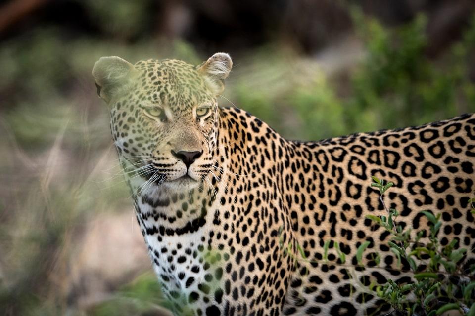 elela-africa-kruger-bis-swasiland-leopard-kachel