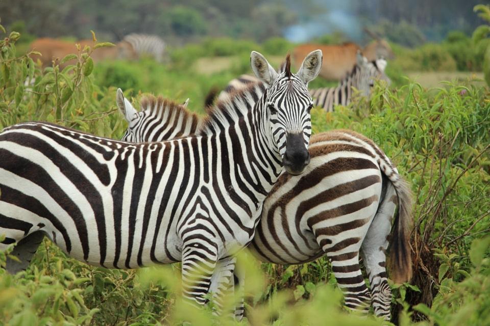 gallerie-Kruger-swasiland-elela-africa-zebras-reiseidee